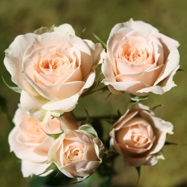 Jana Spray Roses for the brides bouquet.
