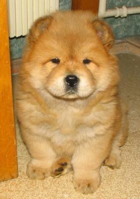O Chow Chow,  é uma raça que atrai pela beleza e fofura, principalmente quando filhote. Com um ar nobre, os cães desta raça costumam comportar-se com discrição, além de serem bem desconfiados com estranhos. O Chow Chow, além de lindo, é sério, protetor e devoto à família.