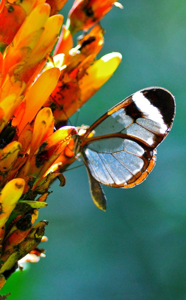 Glasswing butterfly, Montecristo National Park