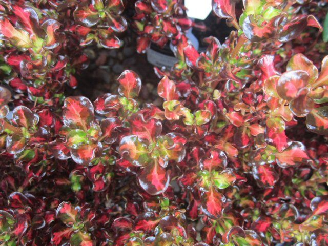 coprosma repens mirror bush pacific sunset 1