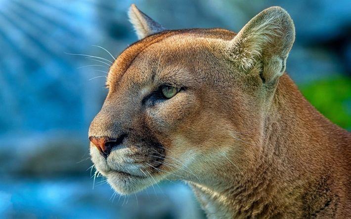 Herunterladen hintergrundbild cougar, raubtiere, 4k, wildlife