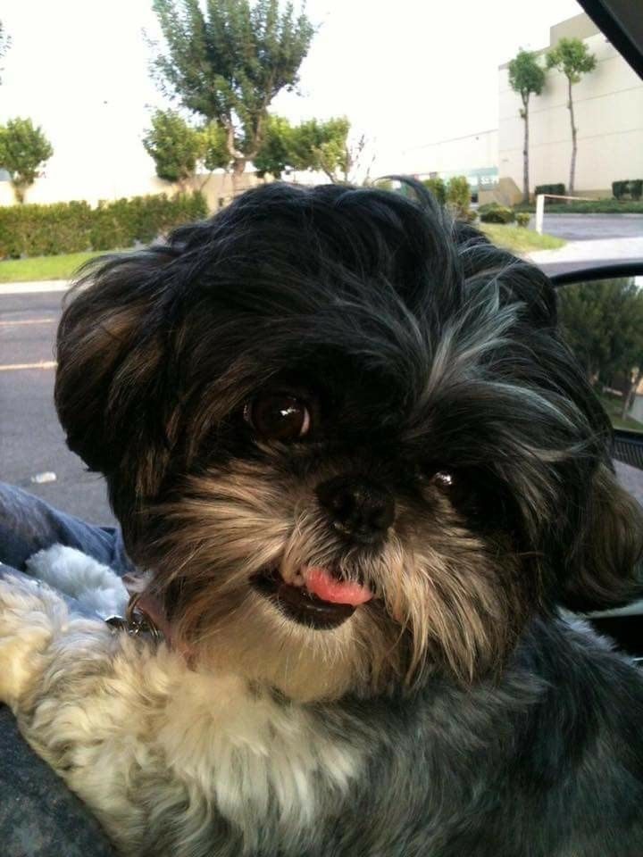 what does a shih tzu dog look like 25 best ideas about baby shih tzu on pinterest shih tzu 358