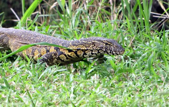 San Lameer is filled with an array of incredible and interesting wildlife. Today we present to you, the Leguaan. #WildlifeWednesday The Nile monitor (Varanus niloticus) is a large member of the monitor lizard family (Varanidae) found throughout much of Africa. Other common names include the African small-grain lizard, water leguaan or river leguaan Nile monitors can grow to about 120 to 220 cm in length, with the largest specimens attaining 244 cm. In an average-sized specimen, the…