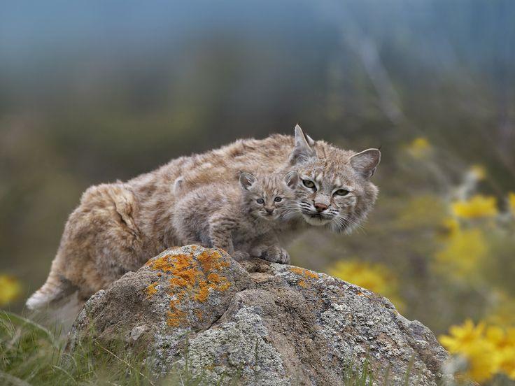 A bobcat and its bobkitten.