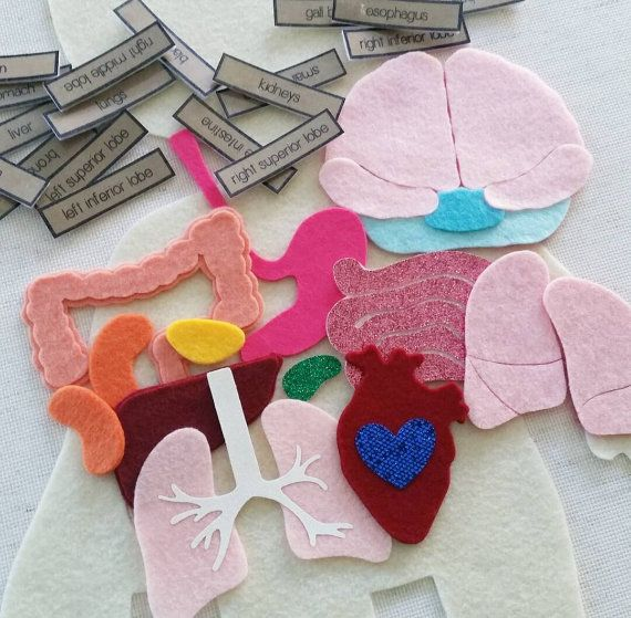 Human Anatomy Felt Learning Set: Body Organs from Circle Time Designs https://www.etsy.com/listing/450219176/body-organs-human-anatomy-felt-board