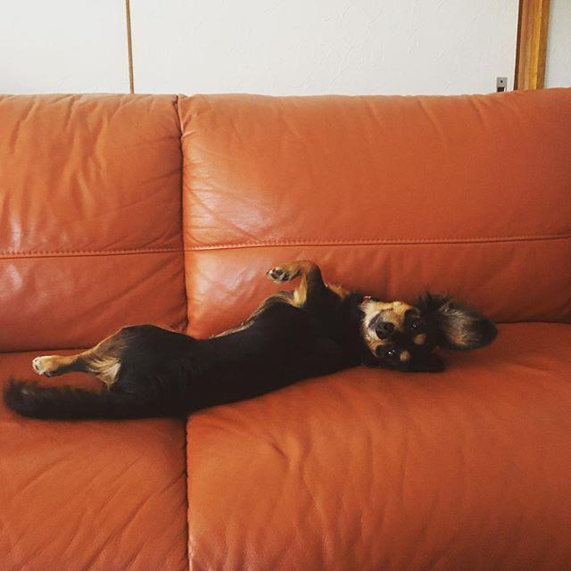 ソファーに寝転ぶキャンディー。避妊し、エリザベスカラーがやっとお盆にとれました。ストレスいっぱいが解放!#愛犬#チワックス#女の子#避妊#9ヶ月#おてんば#オマセさん#ピンシャーに見える