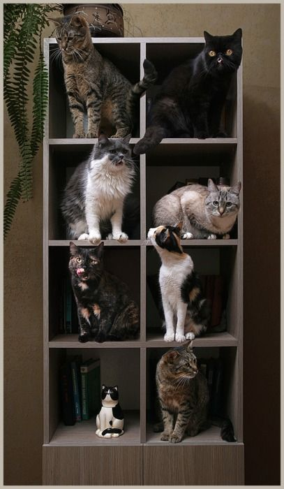 Tumblr: Cats, Cat Shelves, Crazy Cat, Display Cases, Households Organizations, Display Shelves, Cat Ladies, Cat House, Bookca