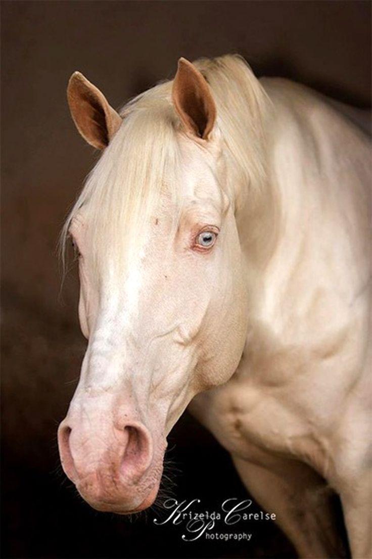 Imperatore horse vans for sale - Amor Cremello Czech Warmblood