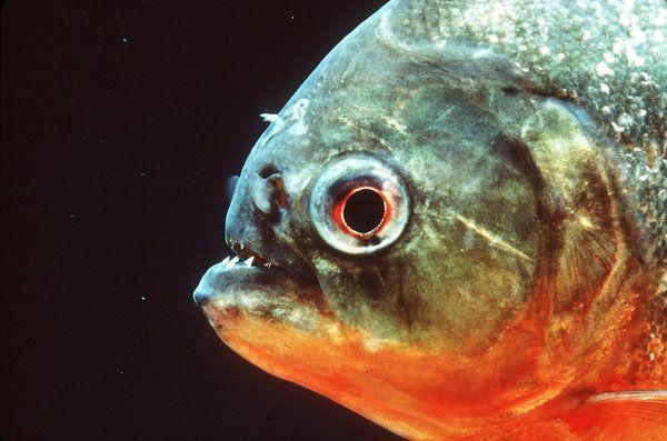 Red belly piranha hunt in packs aggressive fish for Piranha fish tank