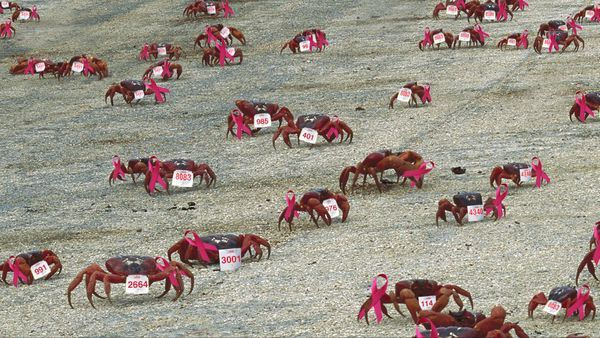 Once a year, millions of red crabs on Christmas Island embark on a long and arduous trek toward the shore as part of their reproductive process. Now, with your help, this natural phenomenon can also be the beginning of the end for breast cancer!
