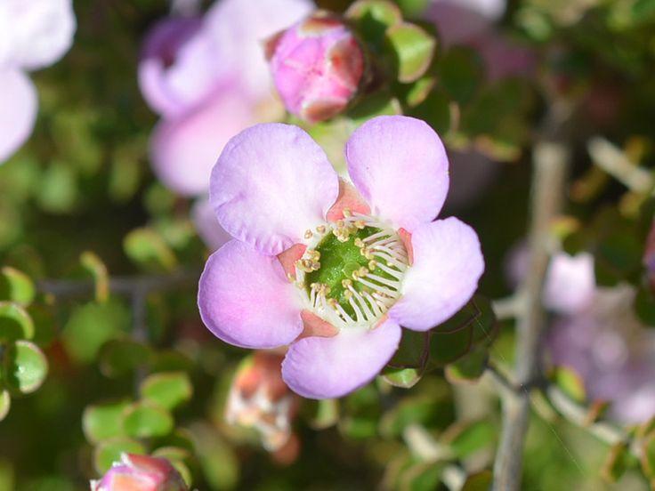 """Leptospermum """"Julie Ann"""" - Meredith Nursery"""