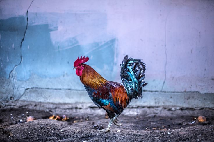 Rooster - null