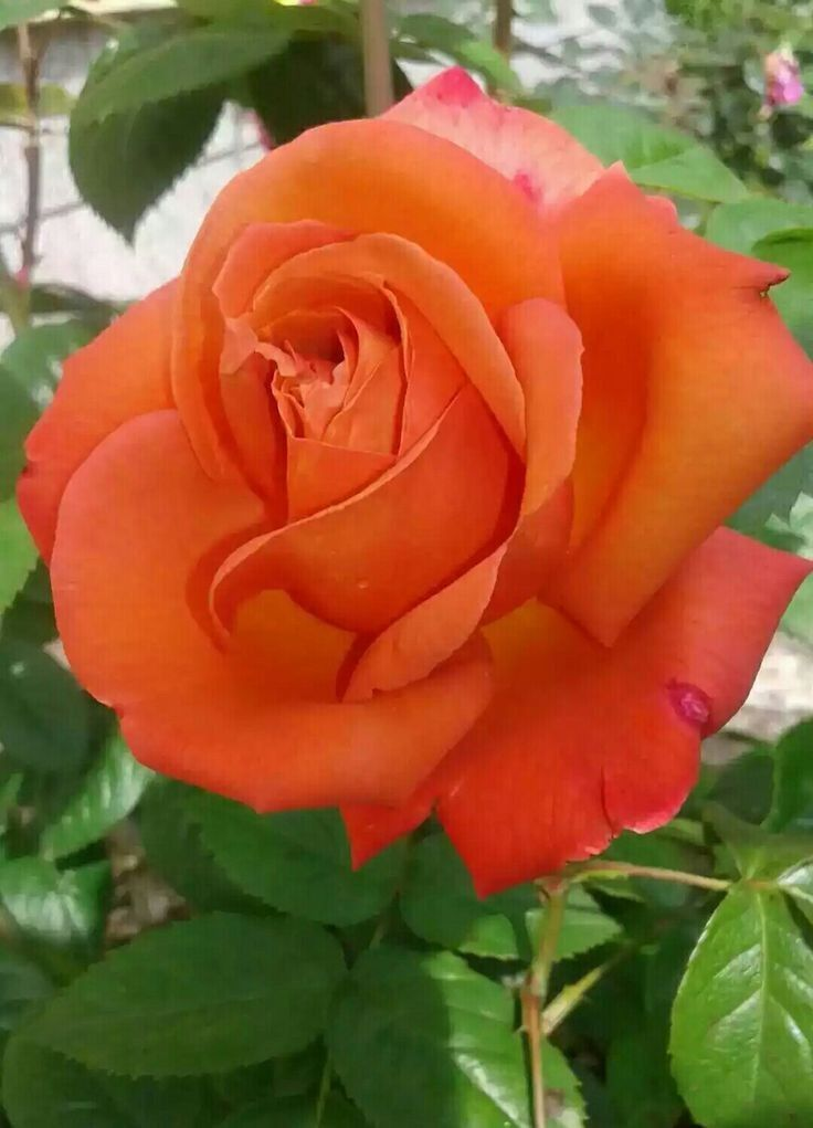Pin by ayegl yney on glistan pinterest orange roses rose pin by ayegl yney on glistan pinterest orange roses rose and flowers mightylinksfo