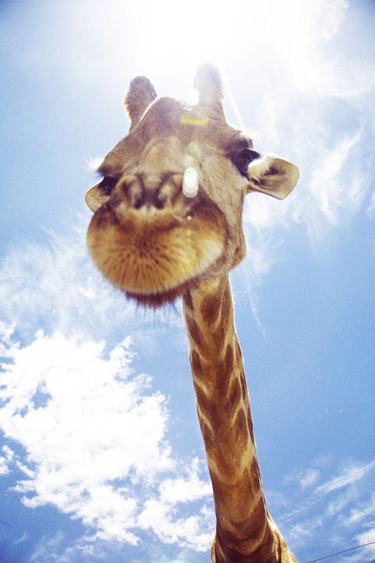 Giraffe, South Africa, by Emily Faulstich