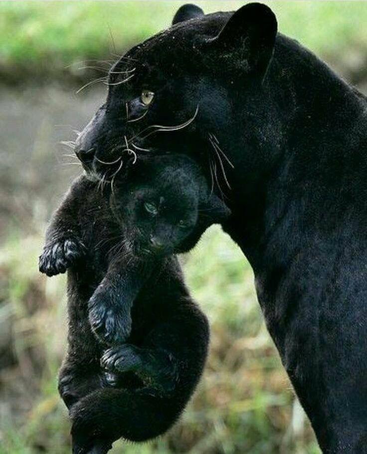Extrêmement Les 187 meilleures images du tableau Panther sur Pinterest  VR32