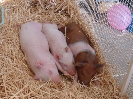 Wentworth Show Animal Nursery. They got to pat the baby goats and lambs. Here is a picture of 3 sleeping baby piglets that were in the Nursery. How they stayed asleep, I can't imagine! I thought at the time, there will be many people who had worked very hard over the weeks prior and during the show, who would be looking forward to a sound sleep on the Sunday night after the Wentworth Show had all finished!