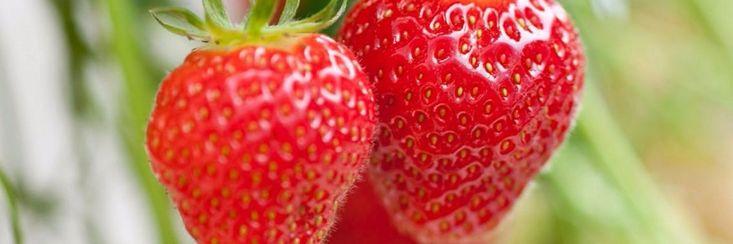 Hoe je het ganse jaar door eigen gekweekte aardbeien kunt eten
