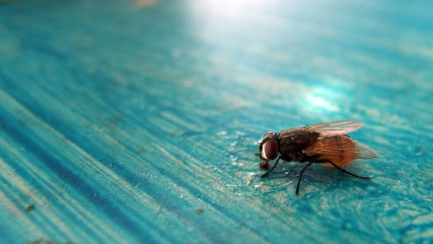 Fly on the blue table