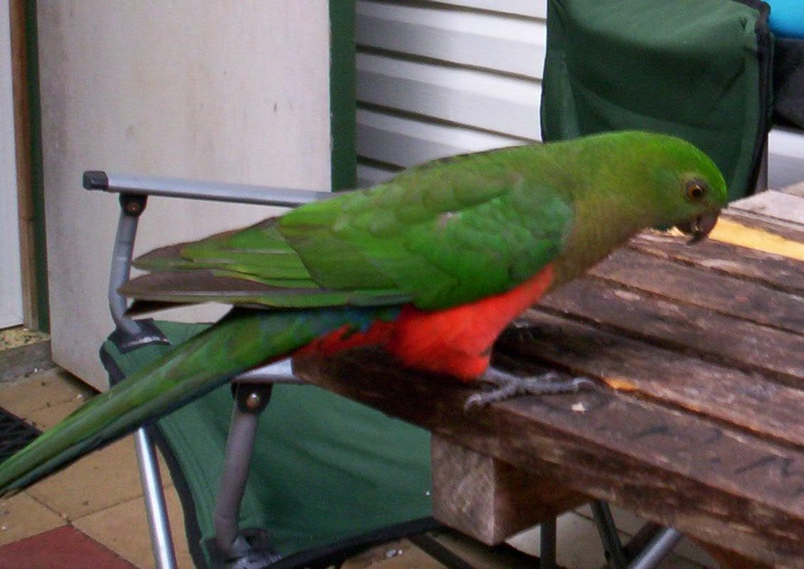 Even wild King Parrot's will come to you for food