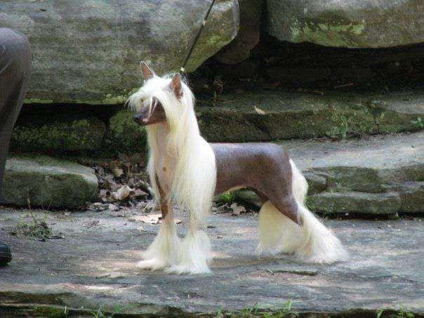 Chinese Crested Dog - Whispering Lane Back Seat Betty, Female hairless