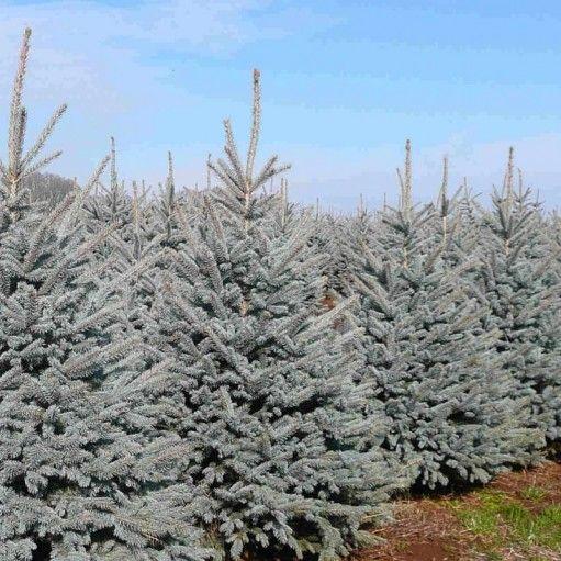 Atingand uneori inaltimi de peste 5 metri, bradul argintiu Fat Albert creeaza o atmosfera festiva indiferent ca este decorat sau nu.