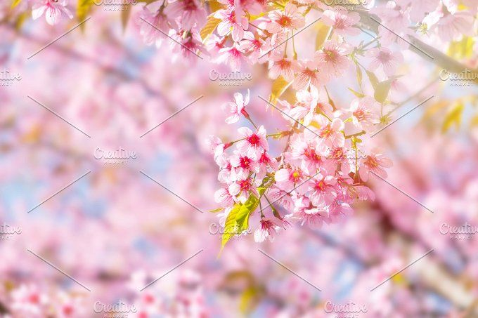 Spring Cherry blossoms by ptystockphoto on @creativemarket