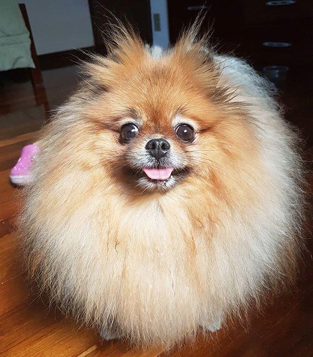 . #pom #pomeranian #luludapomerania #spitzalemao #lovemyspitz #petstagram #pet #instapuppy #animallovers #pomeraniandogs #pomeranianbrothers #pomeranianpage #zeedog #petlovers #dogskickass #connectingdogsandpeople #brpets #achadosdasemana #dogsofinstagram #pomeranianlovers #dogoftheday #lovemypet #supercute #instapet #poshpamperedpets #CaesCats #pomeranianworld #justpomeranians 😚
