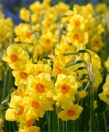 Narcissus Golden Dawn - Tazetta Narcissi - Narcissi - Flower Bulb Index