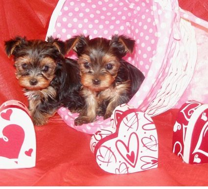 teacup yorkie for sale mn 25 best ideas about yorkie puppies for adoption on 9605