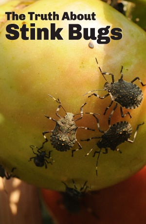 Are stink bugs dangerous the truth about stink bugs - How to get rid of stink bugs in garden ...