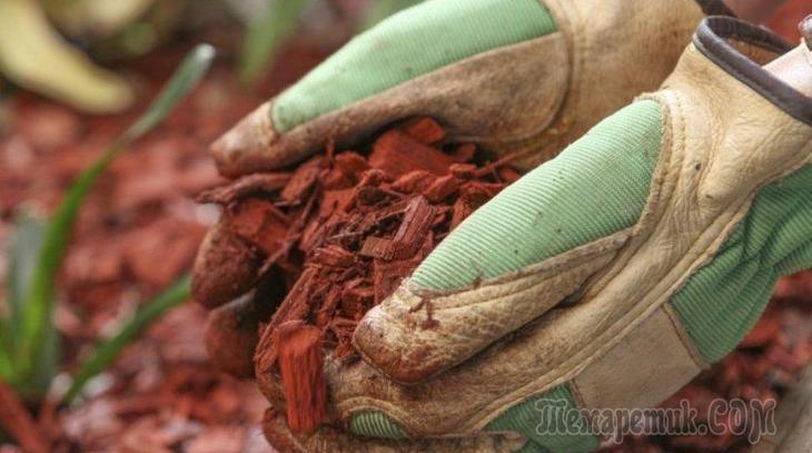 Почву вокруг растений следует мульчировать не только в весеннее и летнее время, но и осенью, чтобы культуры благополучно перезимовали. Мульча, уложенная осенью, к весне перегнивает и способствует лучш...