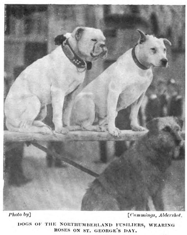 British Army Dogs - Windsor Magazine (1901)