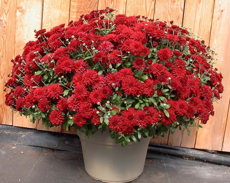 28 Best Mums Images On Pinterest Fall Mums Flower And