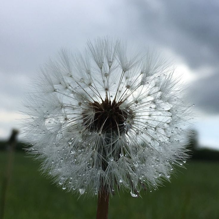 Chris Damant took this photograph of a Dandelion after rainfall in Swanbourne Buckinghamshire. If you have a photograph that you would like to share with the #englandsbigpicture gallery send it to england@bbc.co.uk #england #picoftheday #photosofbritain #photosofengland #top_10_pics_of_the_week #ukpotd #capturingbritain #england2017 #englandphotography #englandinpictures #dandelion #rain #rainfall #nature #weather #spring #swanbourne #buckinghamshire