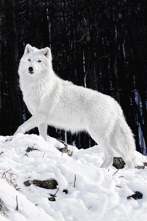wolf wolves snow artic arctic majestic eyes animals via alpha cute pretty wild sylestia animal fox female male werewolf husky