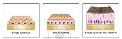 Simple epithelia is one layer of cells. There are squamous cells (squish like), cuboidal cells (cube-shaped), & columnar cells (column like). All have nucleus & basement membrane.