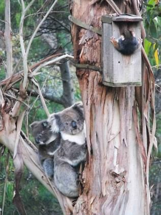 Watched by two koalas, this possum found his way into a bird house erected by Hills local Rob Morrison who snapped the incredible picture. Morrison erects a number of bird houses around his property to provide shelter to the plethora of local birds that frequent his area. Possums are regulars too with many spotted crawling their way out of the tiny houses.