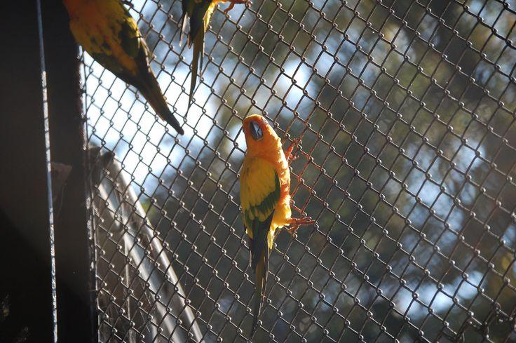 Tierpark Hagenbeck - Sonnensittich -                                          Herkunft: Südamerika