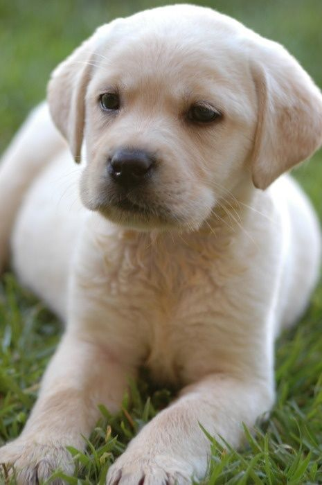 gorgeous yellow lab pup
