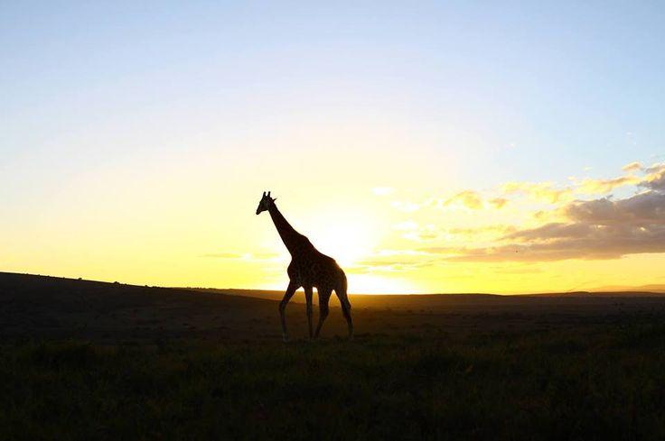 Giraffe at sunset on Amakhala Game Reserve