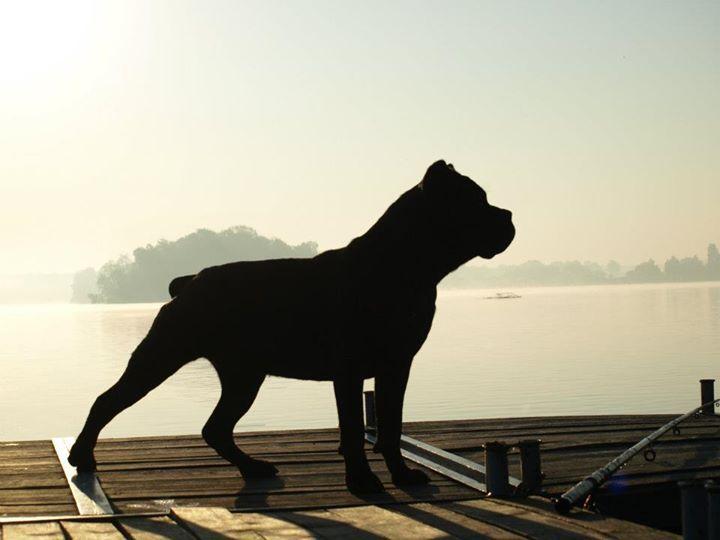 cane corso italiano - wywiad z hodowcą tych pięknych, muskularnych psów obronnych i stróżujących. #canecorso