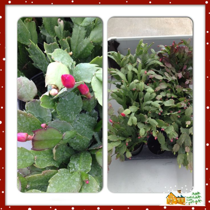 Cactus Decorated For Christmas: 17 Best Images About CHRISTMAS CACTUS On Pinterest
