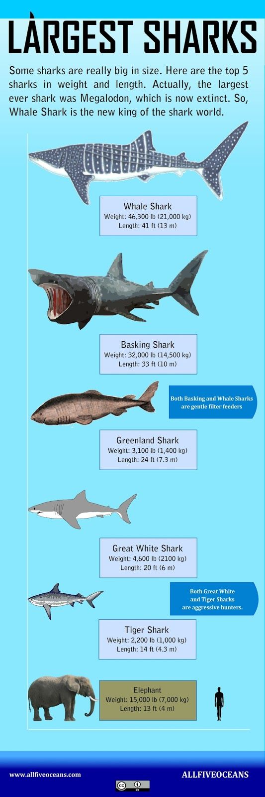 Largest Sharks Infographic