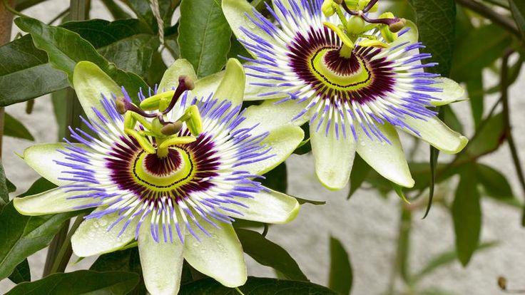 La passiflore dont la fleur évoque la passion de Jésus-Christ (d'où son nom) se distingue par sa floraison généreuse. Grâce à ses vrilles, elle grimpe facilement à l'assaut d'un mur, d'un treillage ou d'un vieil arbre qu'elle habillera sans lui porter préjudice.