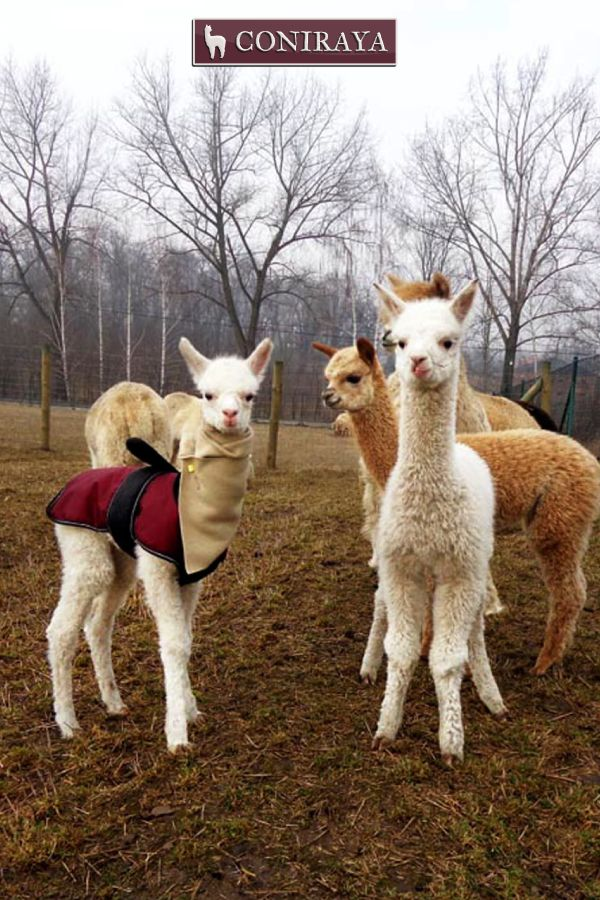 As a group of alpacas we stick together. ~~ <3 <3 ~~