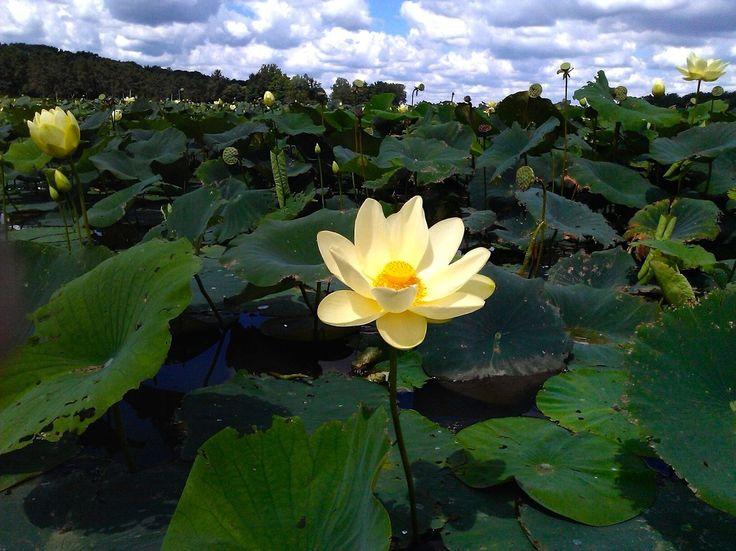 American Lotus water lily flower at Cowan Lake in Ohio