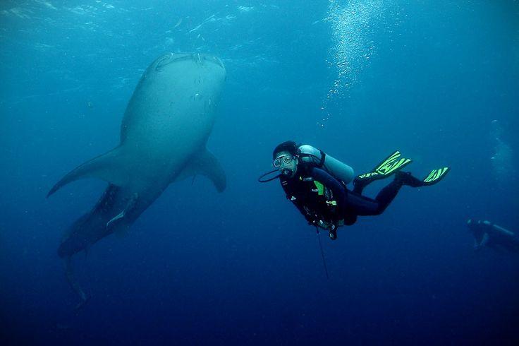 penyelam indonesia yang memotret keindahan bawah laut dengan whale shark