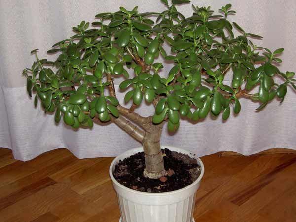 Денежное дерево – символ удачи и средство для лечения болезней