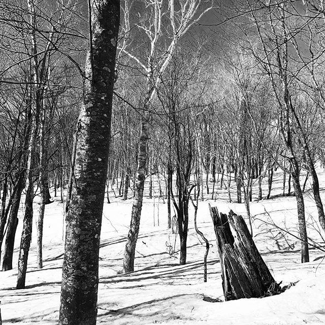#awalkinthewoods #naturalart #landart #deadtree #springsnow #freshmountainair #outandabout #backtonature #outdooractivities #snowshoeing #niseko #hokkaido #visitjapan #ryokan #hotspring  | zaborin.com #experientialtravel #zaborin