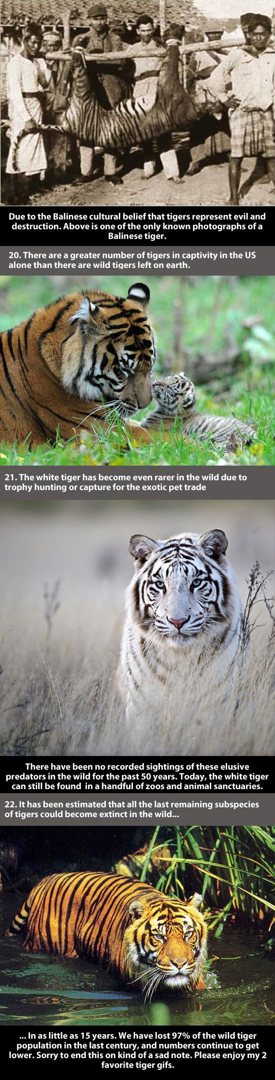 I want to cry. I couldnt imagaine my children never being able to see a tiger. They are too beautiful
